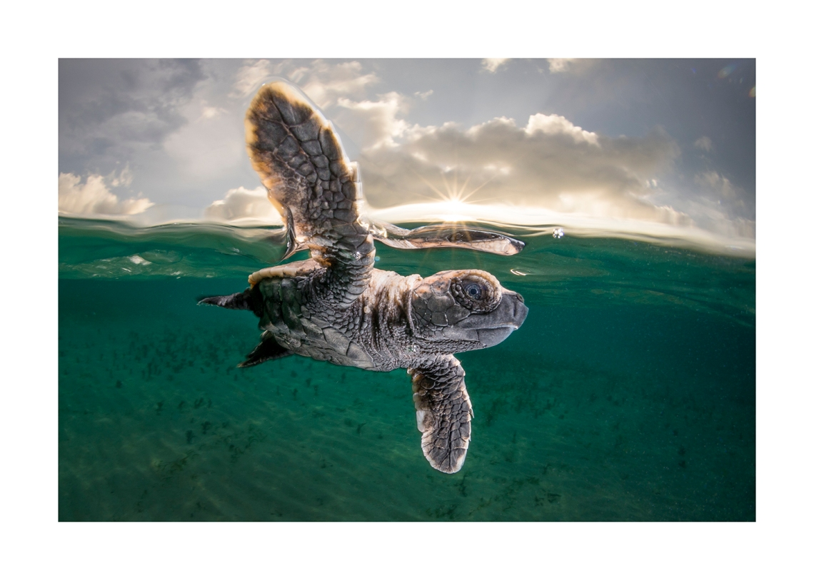 Hawksbill Turtle Hatchling at Lissnenung Island Papua New Guinea