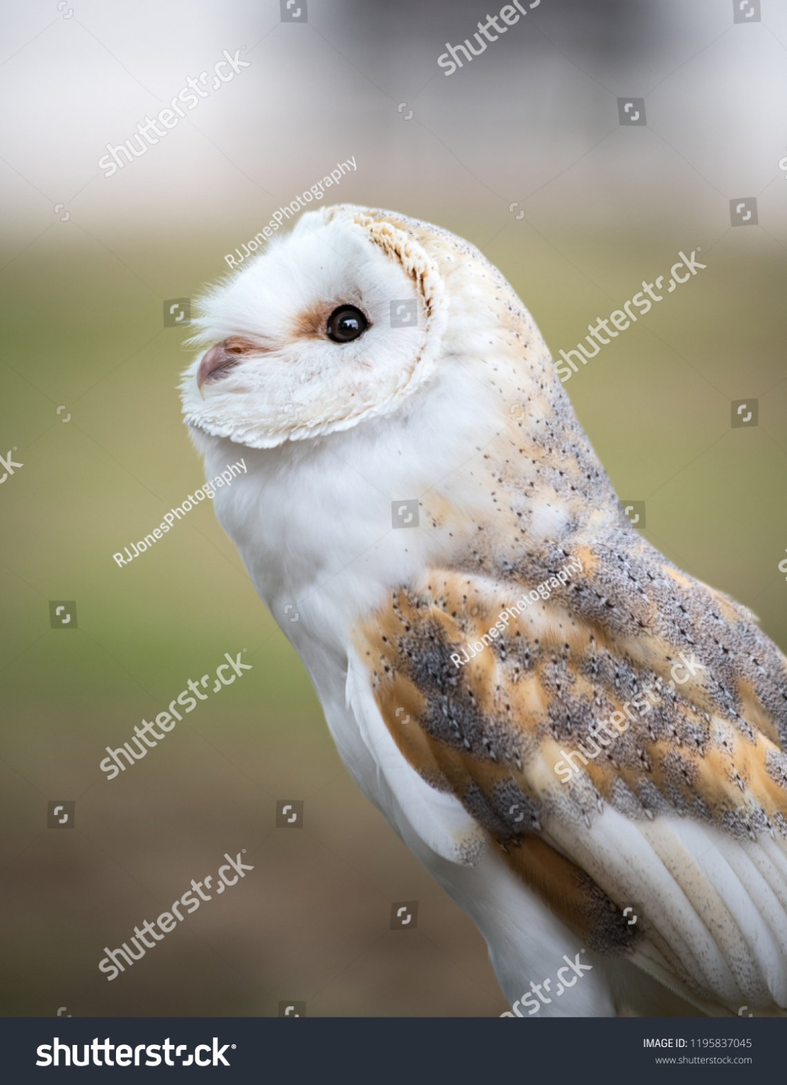 stock-photo-a-barn-owl-1195837045